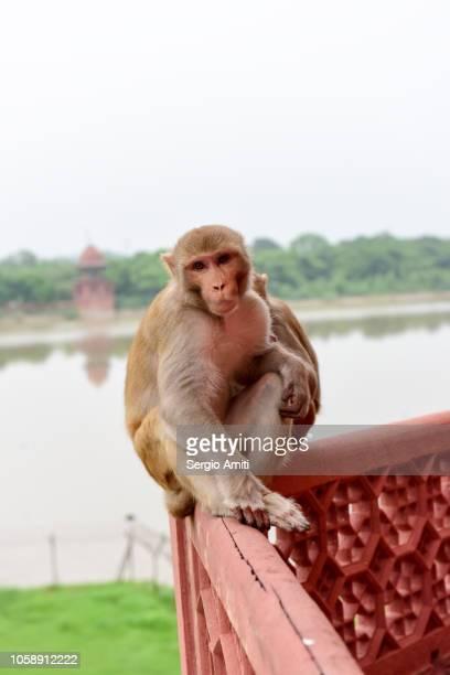 Indian macaque monkeys  at Taj Mahal