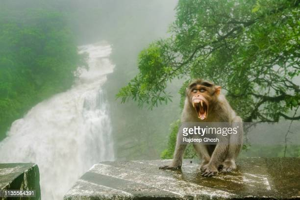 indian macaque showing teeth in forest - 動物の歯 ストックフォトと画像