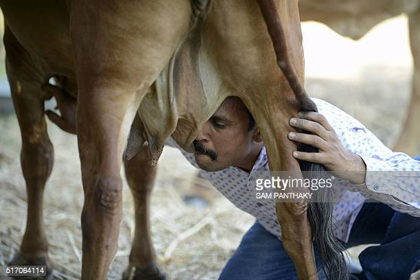 Indian man Vijay Parsana drinks milk from the teat of his cow Poonam on the eve of her marriage in Ghuma village some 20 km from Ahmedabad on March...