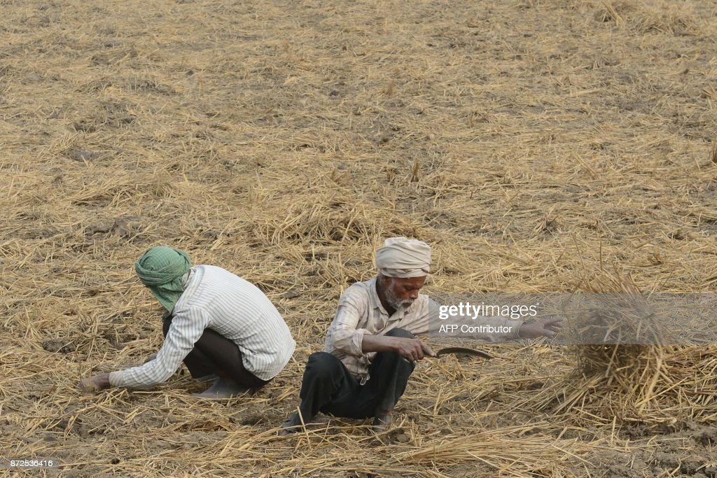 Indian manual laborers harvest rice at a paddy field on the outskirts of Amritsar on November 10 2017 / AFP PHOTO / NARINDER NANU