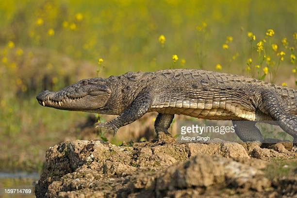 Indian Marsh crocodile or Mugger