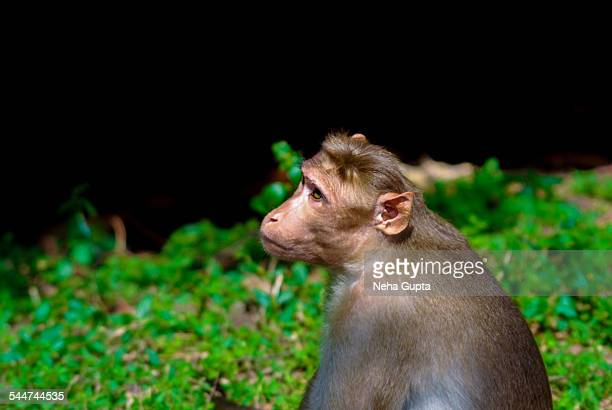 indian monkey - neha gupta stock pictures, royalty-free photos & images