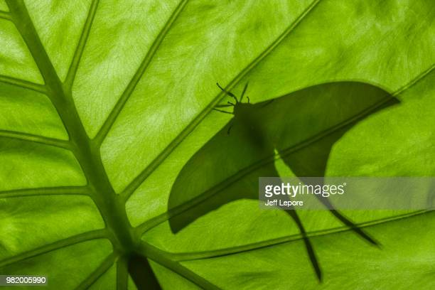 indian moon moth (actias selene) backlit male - luna moth stock pictures, royalty-free photos & images