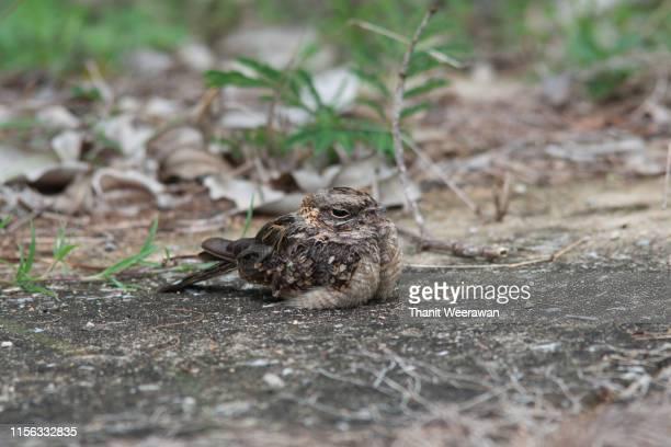 indian nightjar, caprimulgus asiaticus - nightjar stock photos and pictures