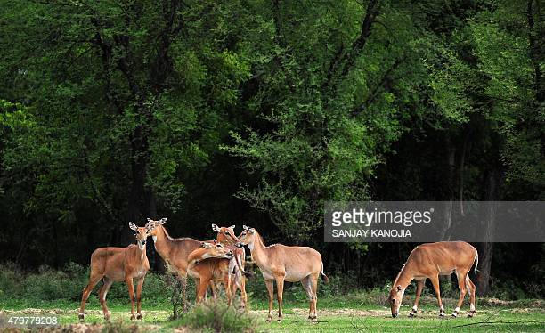 Indian nilgai cows also known as the blue bull stand near an agricultural field in Phafamau village near Allahabad on July 7 2015 AFP PHOTO/ SANJAY...