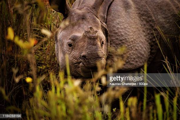 indian one horned - kaziranga national park stock pictures, royalty-free photos & images