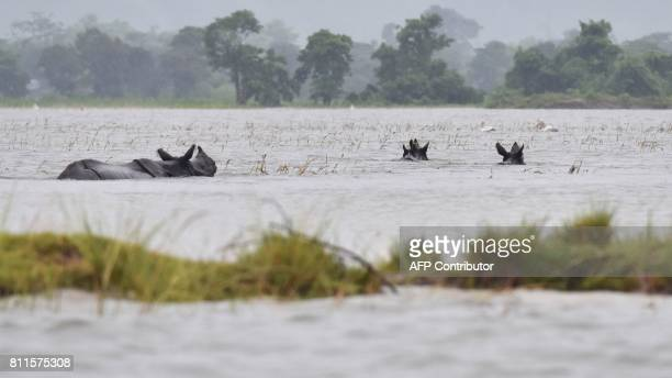 Indian onehorn rhinoceros swim through flood waters at Kaziranga National Park about 250 kilometres east of Guwahati on July 10 2017 / AFP PHOTO /...