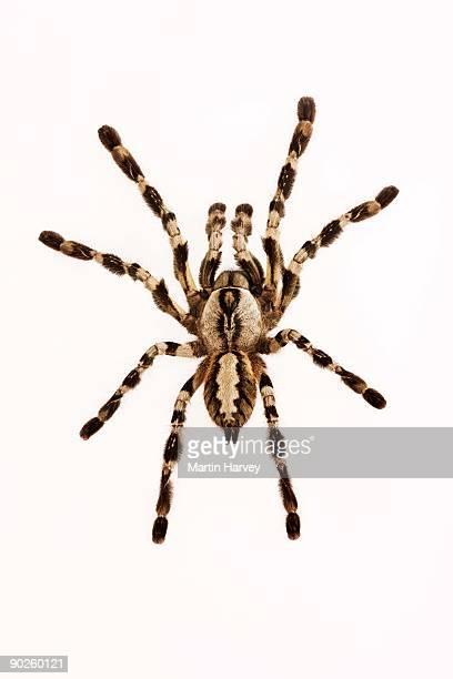 indian ornamental arboreal tarantula - spider fotografías e imágenes de stock