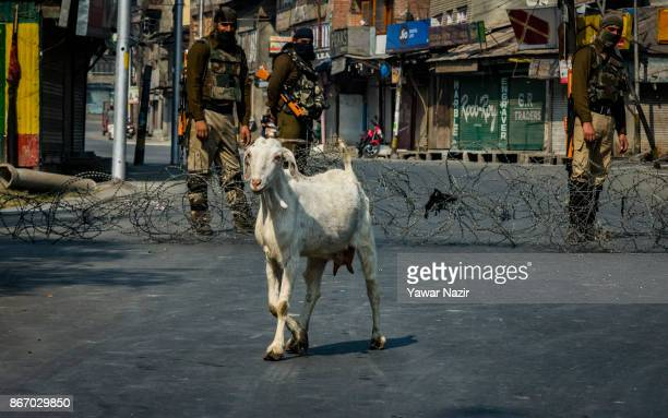 Indian paramilitary troopers stand alert as a goat walks on a deserted road during a strike on October 27 2017 in Srinagar the summer capital of...