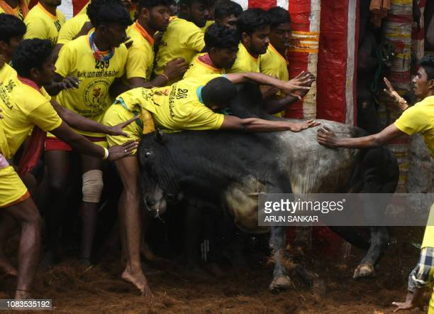 TOPSHOT Indian participants are hit by a charging bull at the annual bullwrestling event 'Jallikattu' in Allanganallur village on the outskirts of...