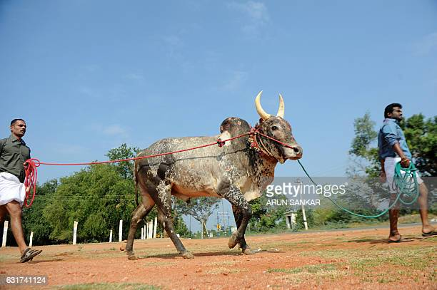 Indian participants lead a bull towards the start of Jallikattu an annual bull fighting ritual on the outskirts of Madurai on January 15 2017 India's...
