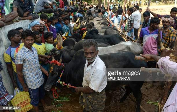 Indian participants line up their bulls at the annual bull taming event 'Jallikattu' in Palamedu village on the outskirts of Madurai in the southern...