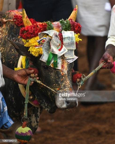 Indian participants present their bulls at the annual bull taming event 'Jallikattu' in Palamedu village on the outskirts of Madurai in the southern...