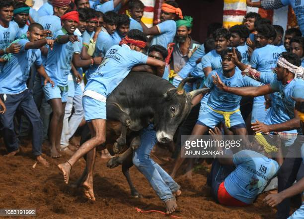 Indian participants try to control a bull at the annual bull taming event 'Jallikattu' in Palamedu village on the outskirts of Madurai in the...