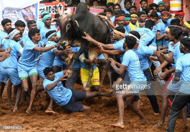 TOPSHOT Indian participants try to control a bull at the annual bull taming event 'Jallikattu' in Palamedu village on the outskirts of Madurai in the...