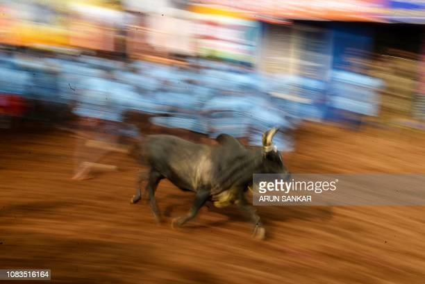 Indian participants try to control a bull at the annual bullwrestling event 'Jallikattu' in Allanganallur village on the outskirts of Madurai in the...