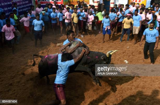 Indian participants try to control a bull during an annual bull taming event 'Jallikattu' in the village of Allanganallur on the outskirts of Madurai...