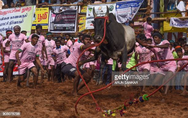 Indian participants try to control a bull during an annual bull taming event 'Jallikattu' in the village of Palamedu on the outskirts of Madurai on...