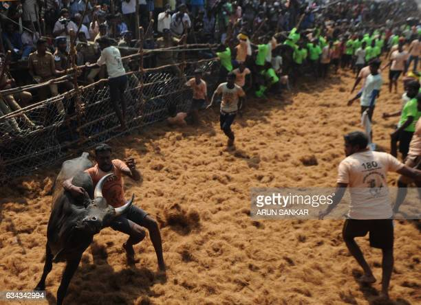 Indian participants try to control a bull during an annual 'Jallikattu' bulltaming in the village of Palamedu on the outskirts of Madurai on February...