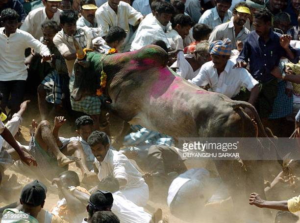 Indian participants try to escape a running bull during a bull taming festival in the village of Palamedu some 500 km southwest of Madras 15 January...