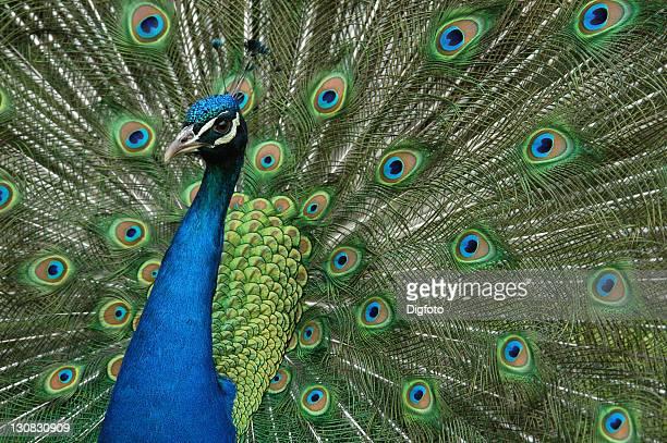 Indian Peacock (Pavo cristatus) displays, close-up