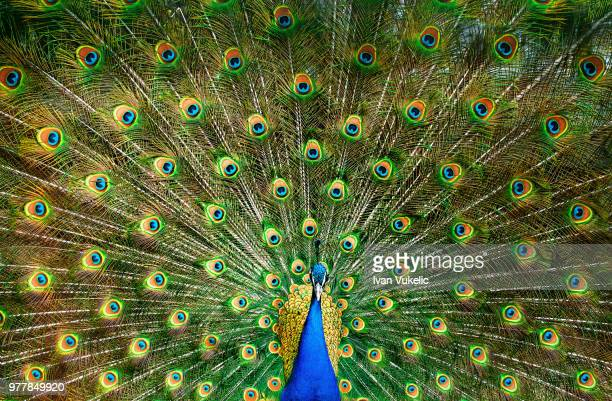 indian peacock (pavo cristatus) with spread tail - peacock stock pictures, royalty-free photos & images