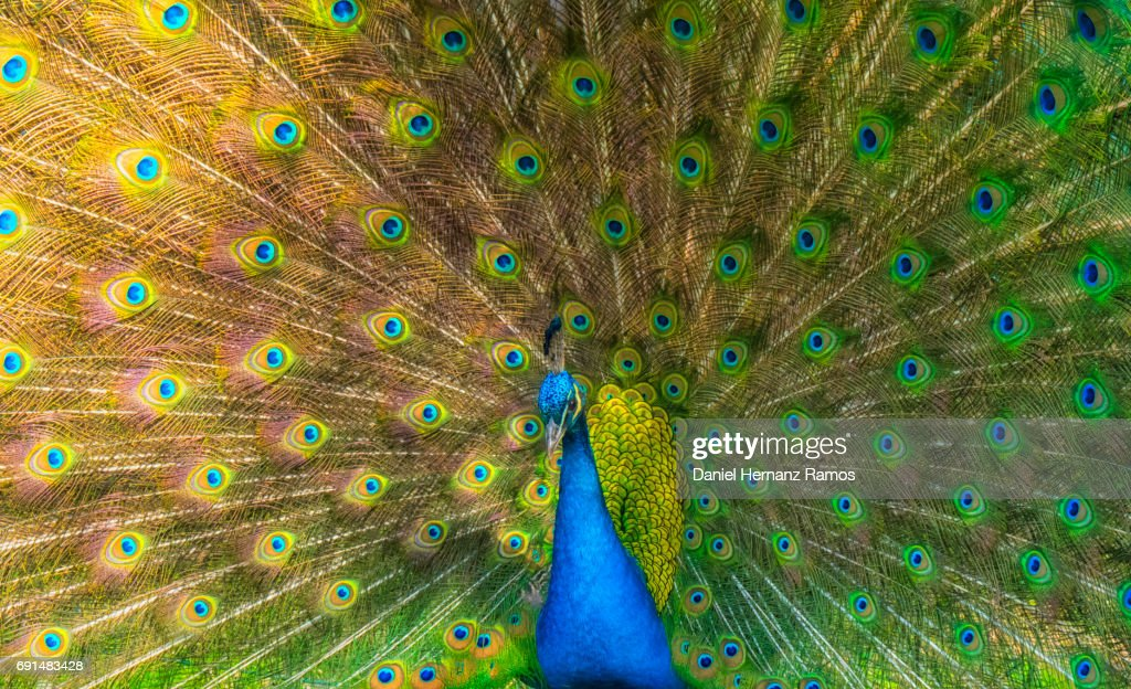 Indian peafowl feathers close up head with spread wings. Pavo cristatus : Stock Photo