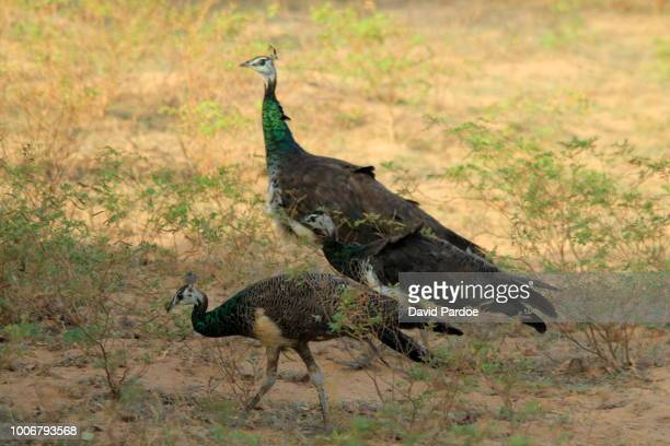 Indian Peafowl in Yala National Park