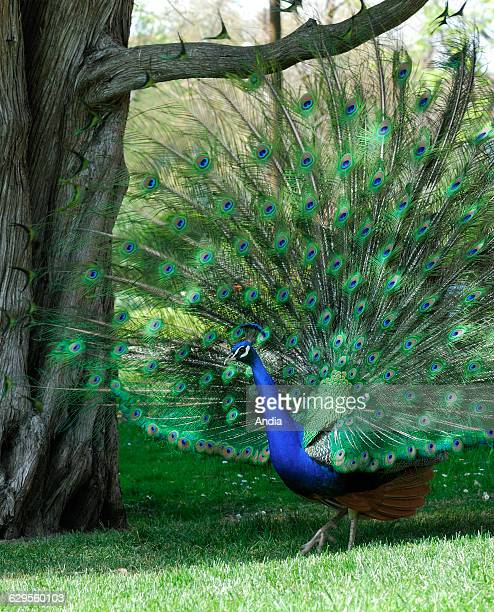 Indian Peafowl or Blue Peafowl spreading its tail