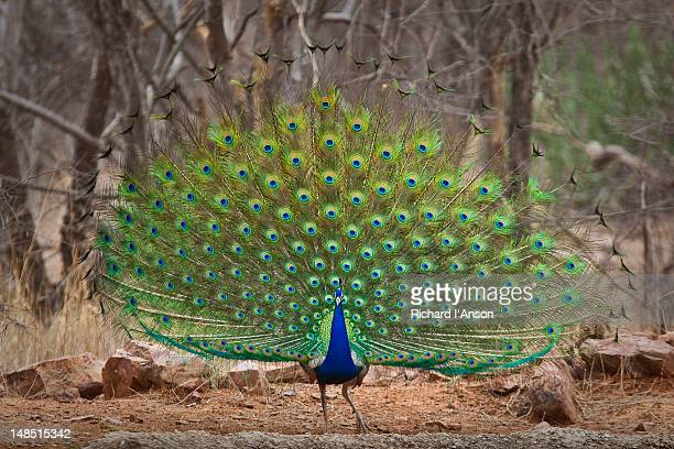 indian peafowl, or peacock, displaying tail feathers. - peacock stock pictures, royalty-free photos & images