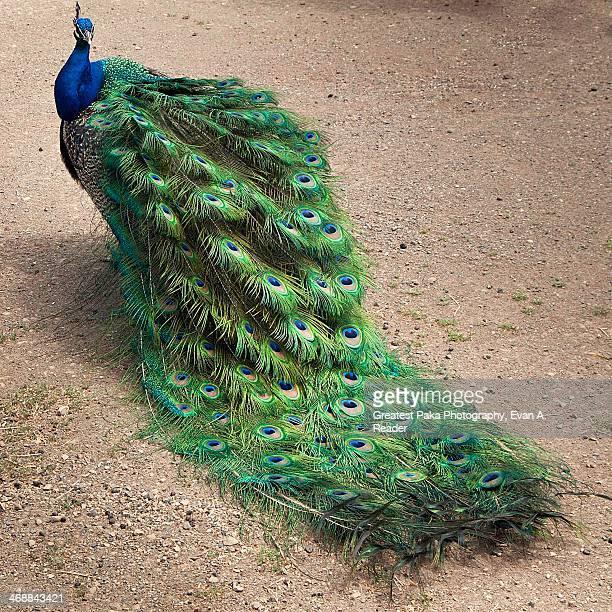 Indian Peafowl (Pavo cristatus)