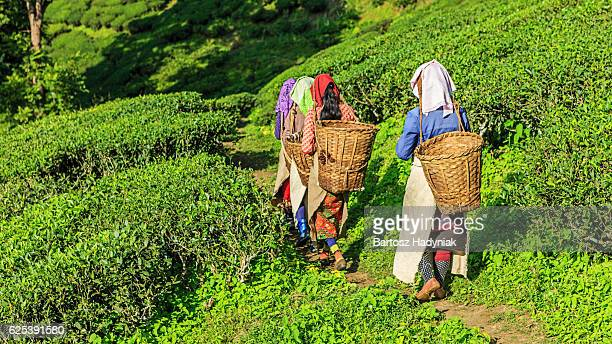 Indian pickers crossing tea plantation in Darjeeling, India