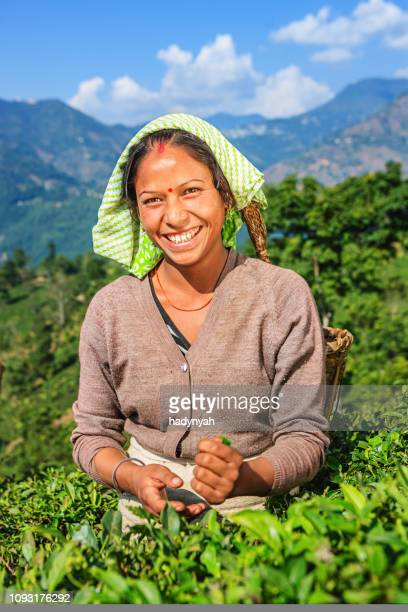 indian pickers plucking tea leaves in darjeeling, india - west bengal stock pictures, royalty-free photos & images