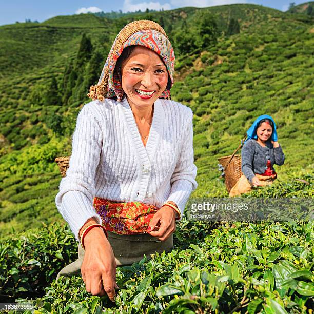 Indian pickers plucking tea leaves in Darjeeling, India