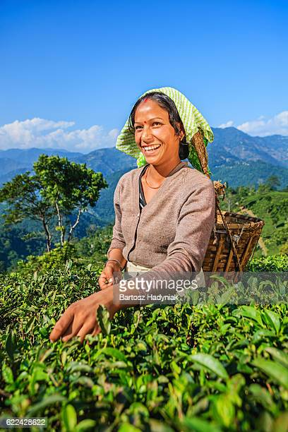 indian pickers plucking tea leaves in darjeeling, india - camellia sinensis stock photos and pictures