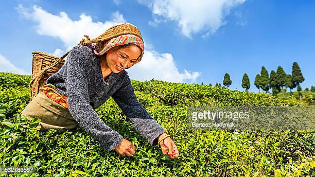 Indian pickers plucking tea leaves in Darjeeling
