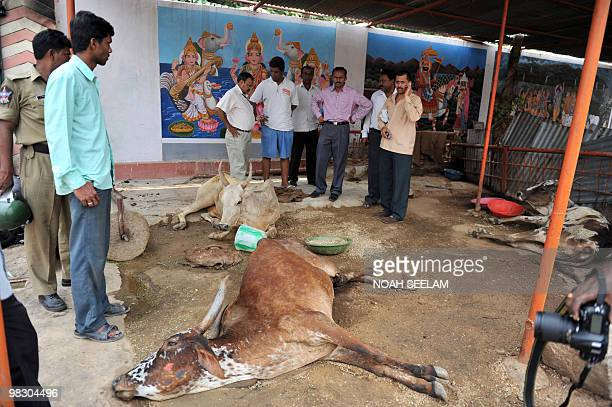 Indian police and others inspect a cow with her leg broken in an attack on Hindu temple Shiv Mandir Goshala as communal violence continued in the Sha...