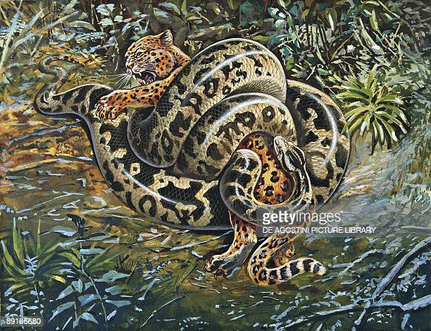 Indian python constricting Leopard, illustration
