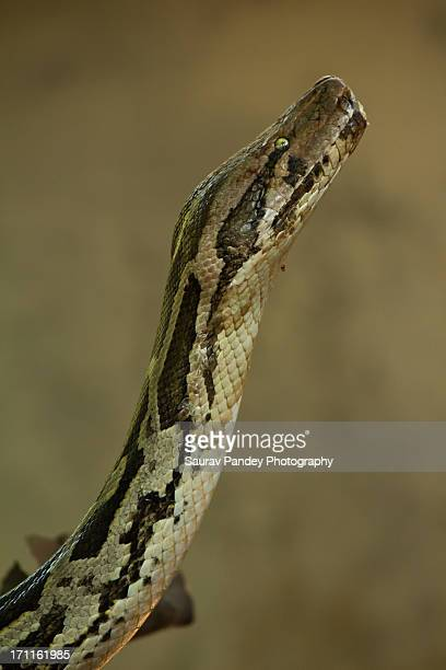 indian python - indian python stock pictures, royalty-free photos & images