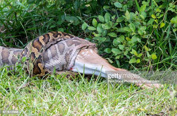 indian python swallowing a spotted deer, yala national park sri lanka - indian python stock pictures, royalty-free photos & images