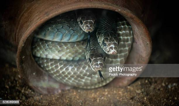 indian rat snake - rat snake stock photos and pictures