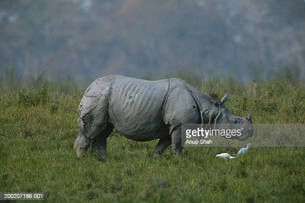 Indian rhinoceros (Rhinoceros unicornis) grazing, Kazaringa, India