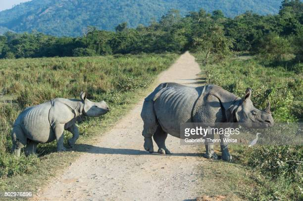 indian rhinoceros - kaziranga national park stock pictures, royalty-free photos & images