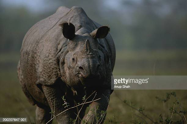 Indian rhinoceros (Rhinoceros unicornis) standing, close up, Kazaringa, India