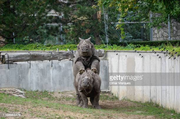 Indian Rhinos mate as visitors walk around on September 16 2019 in Wroclaw Zoo Wroclaw Poland