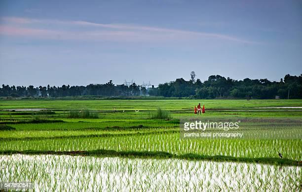 indian rice farming land - westbengalen stock-fotos und bilder