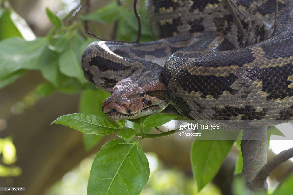 Indian Rock Python on tree. Python molurus : Stock Photo