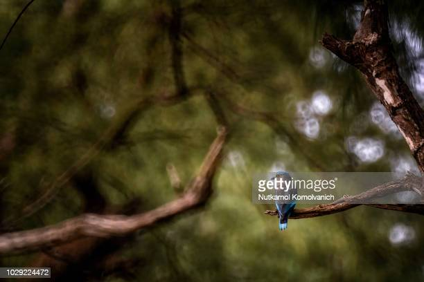 indian roller bird stand on brunch in national park - madhya pradesh stock photos and pictures