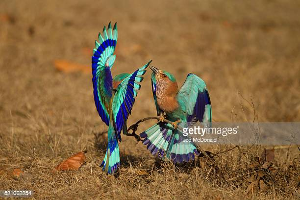 indian roller pair in display - madhya pradesh stock pictures, royalty-free photos & images