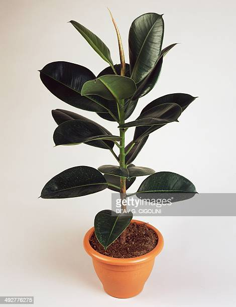 Indian rubber fig or Rubber plant Moraceae